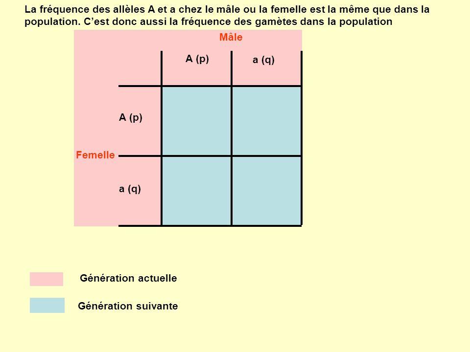 A (p) a (q) A (p) a (q) Mâle Femelle La fréquence des allèles A et a chez le mâle ou la femelle est la même que dans la population. Cest donc aussi la