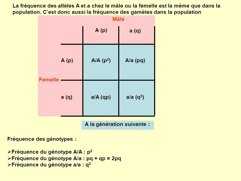 La fréquence des allèles A et a chez le mâle ou la femelle est la même que dans la population. Cest donc aussi la fréquence des gamètes dans la popula