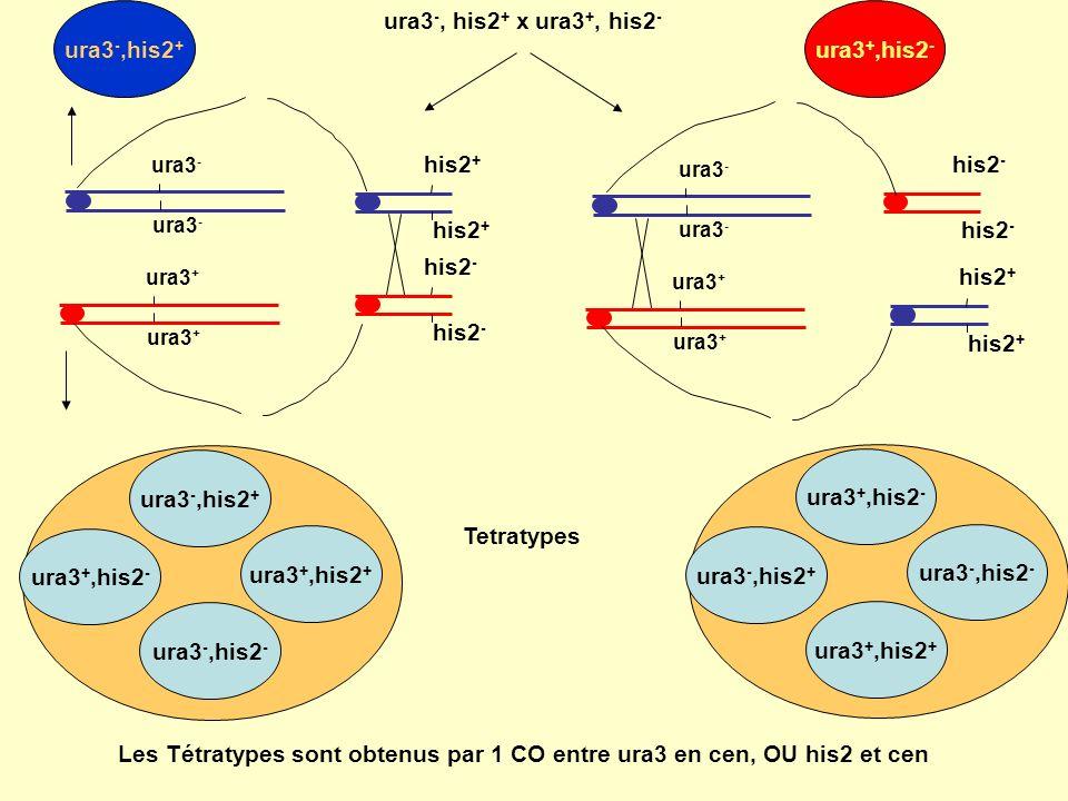Asques préréduits pour le gène étudié (couleur de la spore)