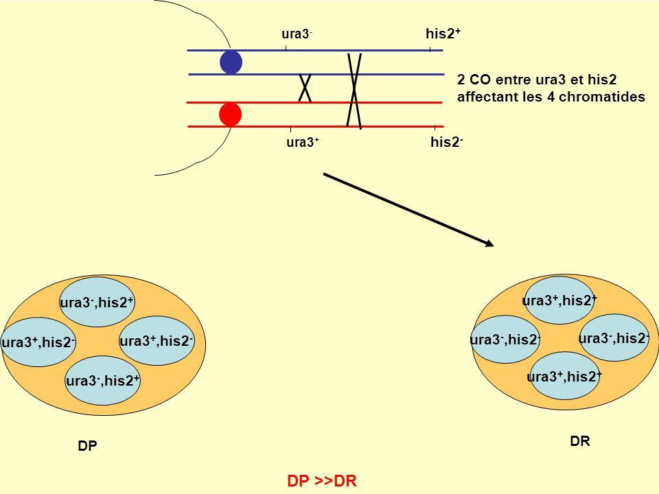 ura3 - his2 + ura3 + his2 - ura3 -,his2 + ura3 +,his2 - ura3 -,his2 + ura3 +,his2 - DP ura3 +,his2 + ura3 -,his2 - ura3 +,his2 + ura3 -,his2 - DR DP >>DR 2 CO entre ura3 et his2 affectant les 4 chromatides