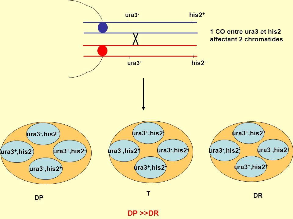 ura3 - his2 + ura3 + his2 - ura3 -,his2 + ura3 +,his2 - ura3 -,his2 + ura3 +,his2 - DP ura3 +,his2 + ura3 -,his2 - ura3 +,his2 + ura3 -,his2 - DR DP >>DR ura3 +,his2 - ura3 -,his2 + ura3 +,his2 + ura3 -,his2 - T 1 CO entre ura3 et his2 affectant 2 chromatides