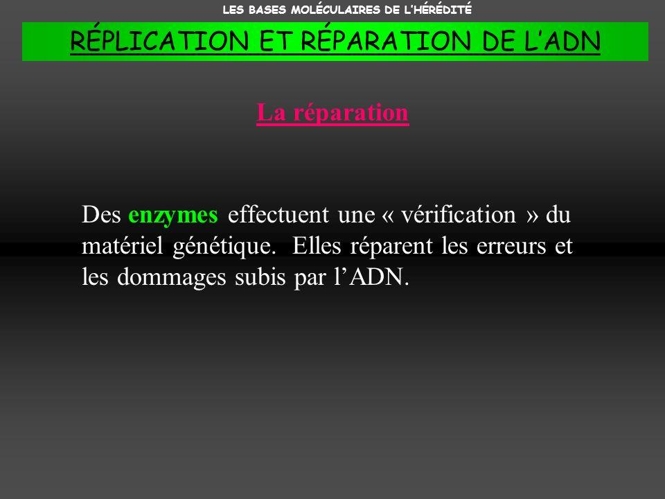 La réparation Des enzymes effectuent une « vérification » du matériel génétique. Elles réparent les erreurs et les dommages subis par lADN. LES BASES
