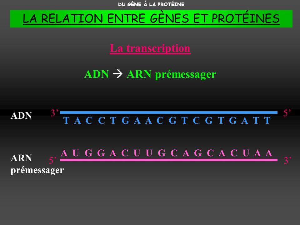 T A C C T G A A C G T C G T G A T T La transcription ADN ARN prémessager DU GÈNE À LA PROTÉINE 53 ADN 35 ARN prémessager A U G G A C U U G C A G C A C