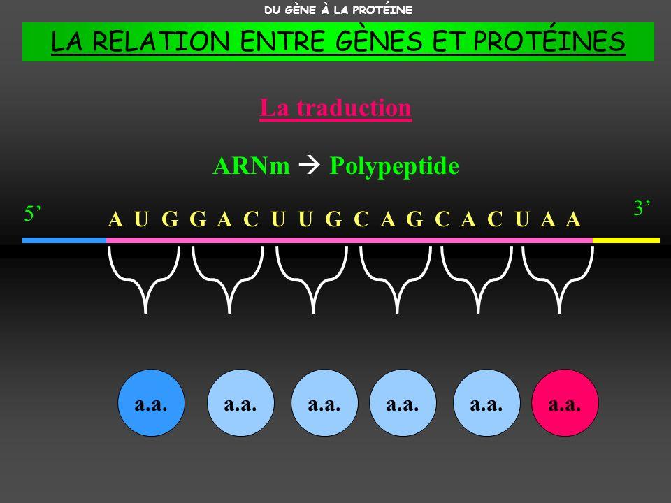 A U G G A C U U G C A G C A C U A A La traduction DU GÈNE À LA PROTÉINE ARNm Polypeptide 3 5 a.a. LA RELATION ENTRE GÈNES ET PROTÉINES