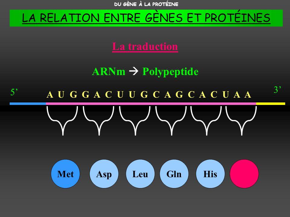 A U G G A C U U G C A G C A C U A A La traduction DU GÈNE À LA PROTÉINE ARNm Polypeptide 3 5 MetAspLeuGlnHis LA RELATION ENTRE GÈNES ET PROTÉINES