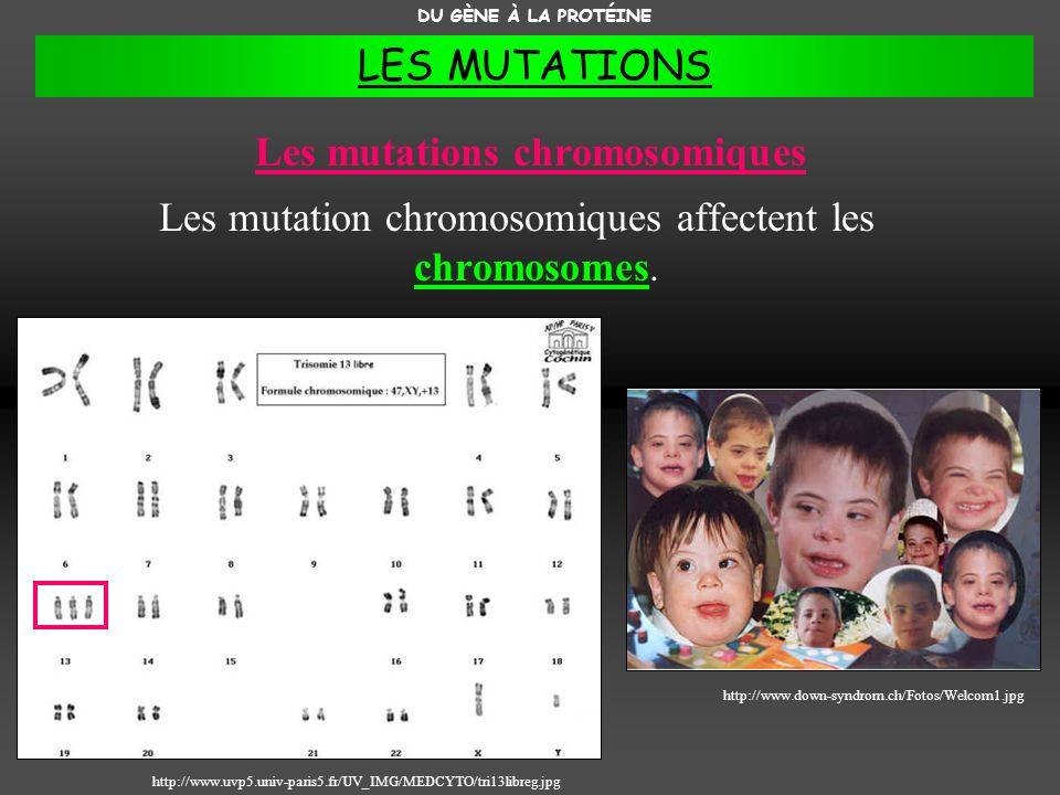 Les mutations chromosomiques Les mutation chromosomiques affectent les chromosomes. DU GÈNE À LA PROTÉINE http://www.down-syndrom.ch/Fotos/Welcom1.jpg