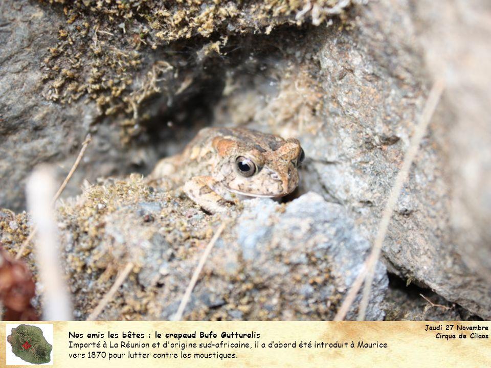 Nos amis les bêtes : le crapaud Bufo Gutturalis Importé à La Réunion et d'origine sud-africaine, il a dabord été introduit à Maurice vers 1870 pour lu