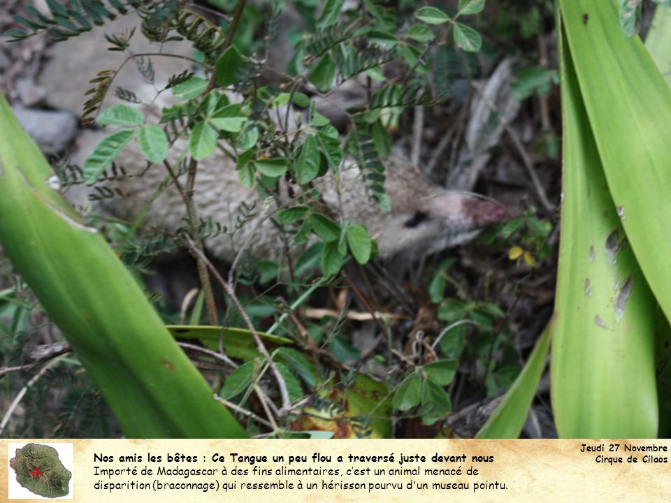 Nos amis les bêtes : Ce Tangue un peu flou a traversé juste devant nous Importé de Madagascar à des fins alimentaires, cest un animal menacé de dispar