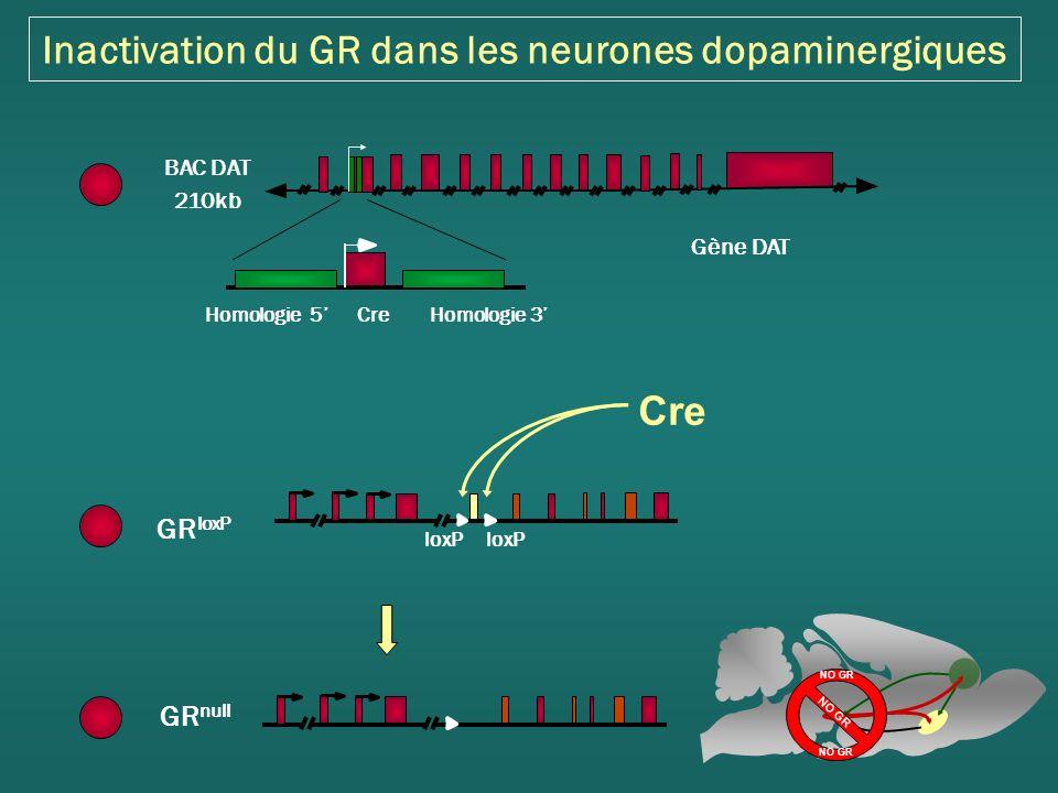 Inactivation du GR dans les neurones dopaminergiques Cre GR loxP loxP GR null Gène DAT CreHomologie 5Homologie 3 BAC DAT 210kb NO GR