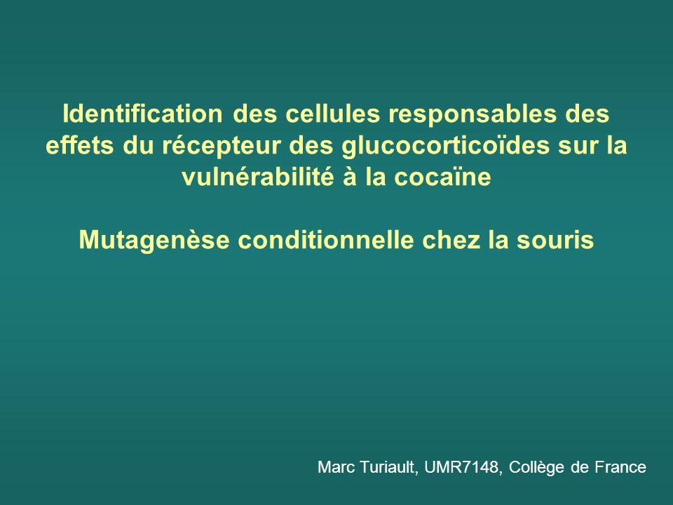 Identification des cellules responsables des effets du récepteur des glucocorticoïdes sur la vulnérabilité à la cocaïne Mutagenèse conditionnelle chez la souris Marc Turiault, UMR7148, Collège de France