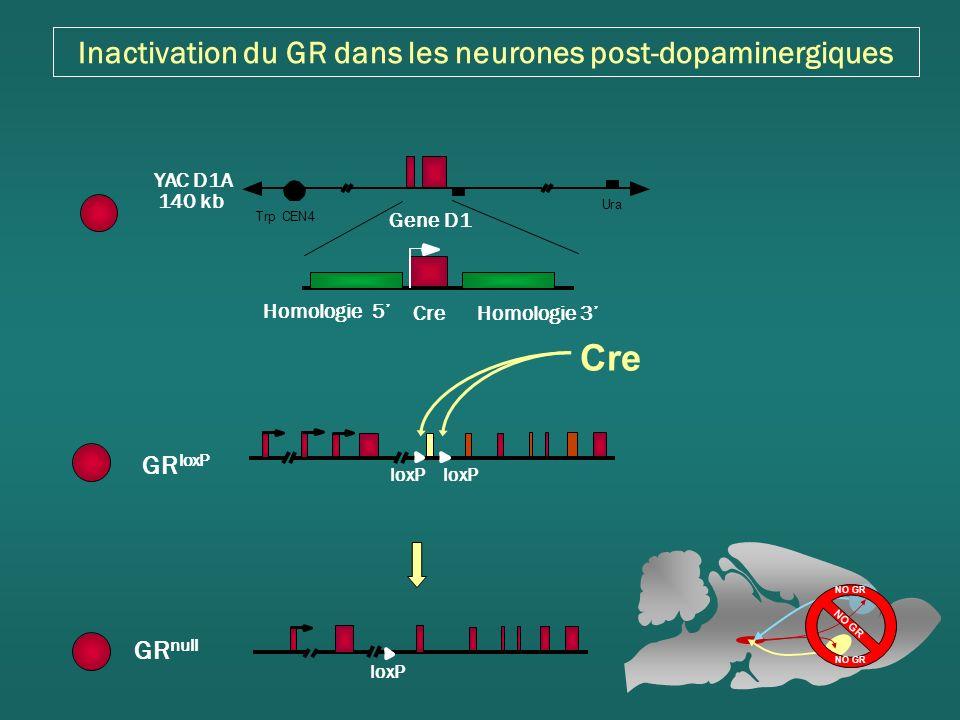 Inactivation du GR dans les neurones post-dopaminergiques Trp Ura YAC D1A 140 kb CEN4 Gene D1 Cre Homologie 5 Homologie 3 loxP GR null Cre GR loxP loxP NO GR