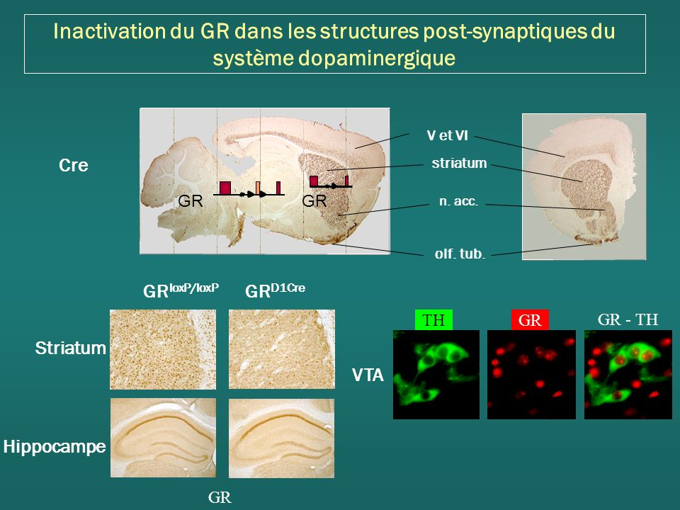 Inactivation du GR dans les structures post-synaptiques du système dopaminergique Cre striatum n.