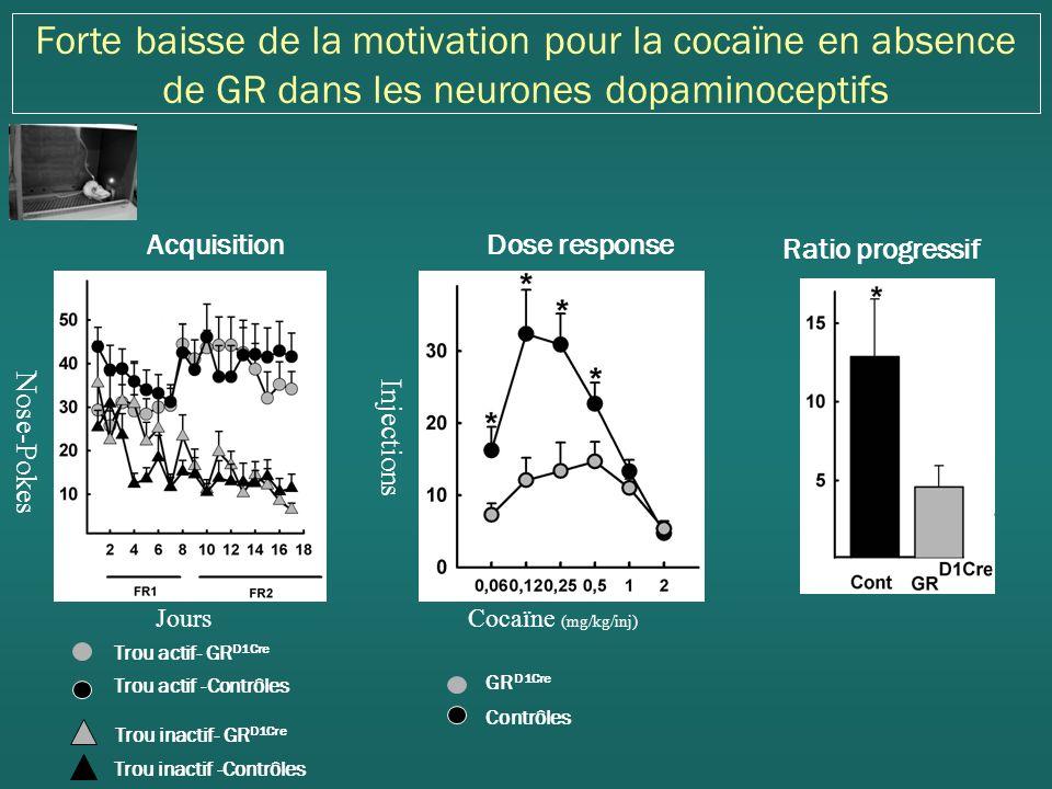 Forte baisse de la motivation pour la cocaïne en absence de GR dans les neurones dopaminoceptifs Ratio progressif Dose response Injections Cocaïne (mg/kg/inj) GR D1Cre Contrôles Acquisition Jours Nose-Pokes Trou inactif- GR D1Cre Trou actif -Contrôles Trou inactif -Contrôles Trou actif- GR D1Cre
