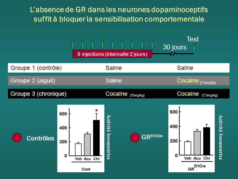 Labsence de GR dans les neurones dopaminoceptifs suffit à bloquer la sensibilisation comportementale 9 injections (intervalle:2 jours) 30 jours Test Groupe 3 (chronique) Cocaïne Cocaïne Groupe 2 (aiguë) Saline Cocaïne Groupe 1 (contrôle) Saline Saline (15mg/kg)(7,5mg/kg) GR D1Cre Activité locomotrice Contrôles Activité locomotrice