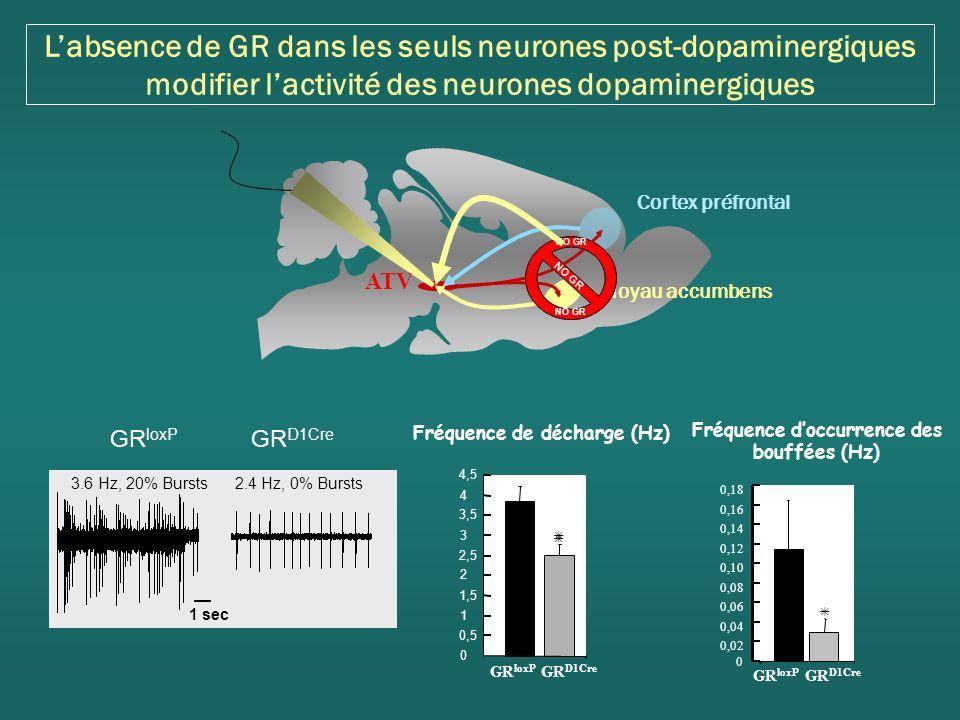 Labsence de GR dans les seuls neurones post-dopaminergiques modifier lactivité des neurones dopaminergiques Fréquence de décharge (Hz) GR loxP GR D1Cre 0 0,5 1 1,5 2 2,5 3 3,5 4 4,5 Fréquence doccurrence des bouffées (Hz) 0 0,02 0,04 0,06 0,08 0,10 0,12 0,14 0,16 0,18 GR loxP GR D1Cre 3.6 Hz, 20% Bursts 2.4 Hz, 0% Bursts 1 sec GR loxP GR D1Cre Cortex préfrontal Noyau accumbens ATV NO GR