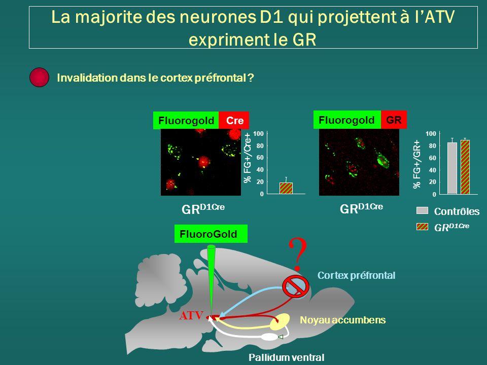 La majorite des neurones D1 qui projettent à lATV expriment le GR Fluorogold Cre GR D1Cre % FG+/Cre+ 0 20 40 60 80 100 GR D1Cre Contrôles GR D1Cre FluorogoldGR % FG+/GR+ 0 20 40 60 80 100 Invalidation dans le cortex préfrontal .