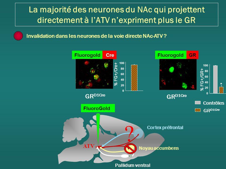 Fluorogold Cre GR D1Cre % FG+/Cre+ 0 20 40 60 80 100 GR D1Cre Contrôles GR D1Cre % FG+/GR+ FluorogoldGR * 0 20 40 60 80 100 La majorité des neurones du NAc qui projettent directement à lATV nexpriment plus le GR Cortex préfrontal Noyau accumbens Pallidum ventral ATV Invalidation dans les neurones de la voie directe NAc-ATV .