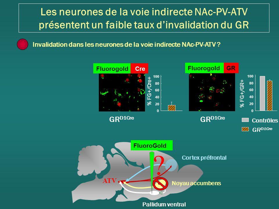 Les neurones de la voie indirecte NAc-PV-ATV présentent un faible taux dinvalidation du GR GR D1Cre Contrôles GR D1Cre FluorogoldGR % FG+/GR+ 0 20 40 60 80 100 Fluorogold Cre GR D1Cre % FG+/Cre+ 0 20 40 60 80 100 Cortex préfrontal Noyau accumbens Pallidum ventral ATV FluoroGold .