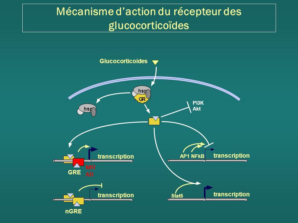 Mécanisme daction du récepteur des glucocorticoïdes transcription AP1NFkB transcription Stat5 GRE nGRE Glucocorticoides hsp GR AR MR PI3K Akt