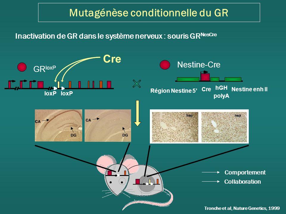Linactivation de GR dans les neurones dopaminergiques na aucun effet sur lautoadministration de cocaine Point de rupture Ratio progressif Acquisition Trou inactif- GR DATCre Trou actif- GR DATCre Trou actif -Contrôles Trou inactif -Contrôles Noses pokes Dose réponse GR DATCre Contrôles Injections Cocaïne (mg/kg/inj)