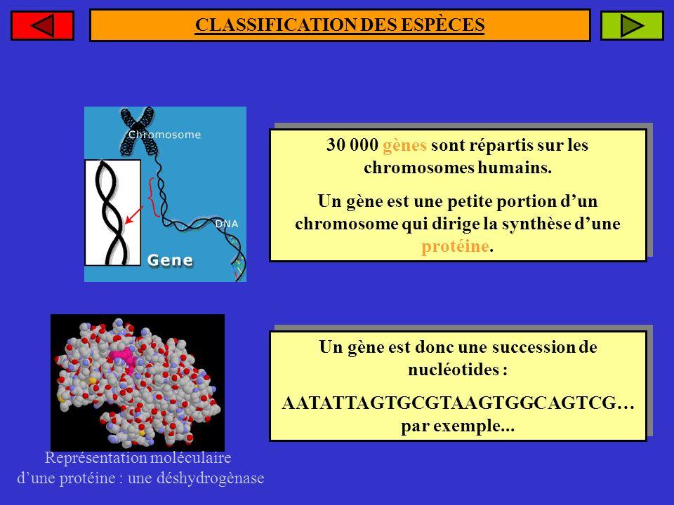 CLASSIFICATION DES ESPÈCES 30 000 gènes sont répartis sur les chromosomes humains. Un gène est une petite portion dun chromosome qui dirige la synthès