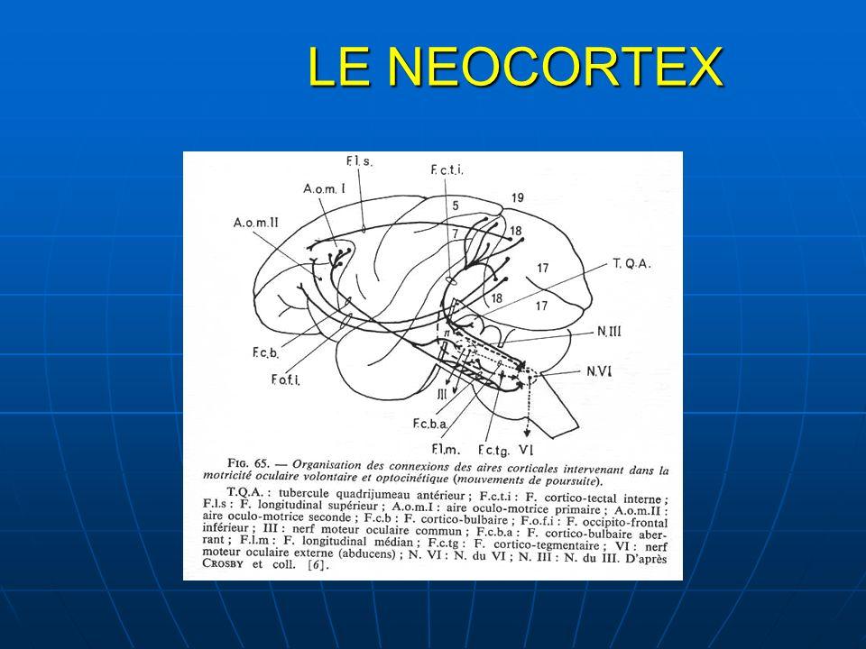 LE NEOCORTEX LE NEOCORTEX