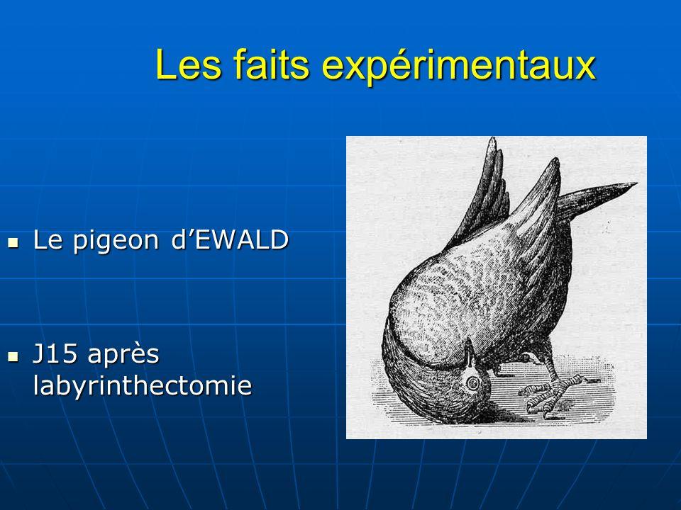 Les faits expérimentaux Les faits expérimentaux Le pigeon dEWALD Le pigeon dEWALD J15 après labyrinthectomie J15 après labyrinthectomie