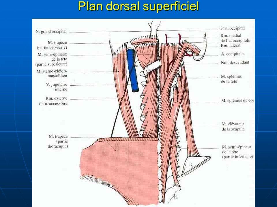 Plan dorsal superficiel
