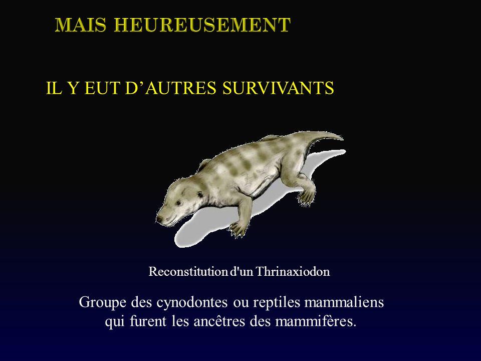 Groupe des cynodontes ou reptiles mammaliens qui furent les ancêtres des mammifères. Reconstitution d'un Thrinaxiodon IL Y EUT DAUTRES SURVIVANTS