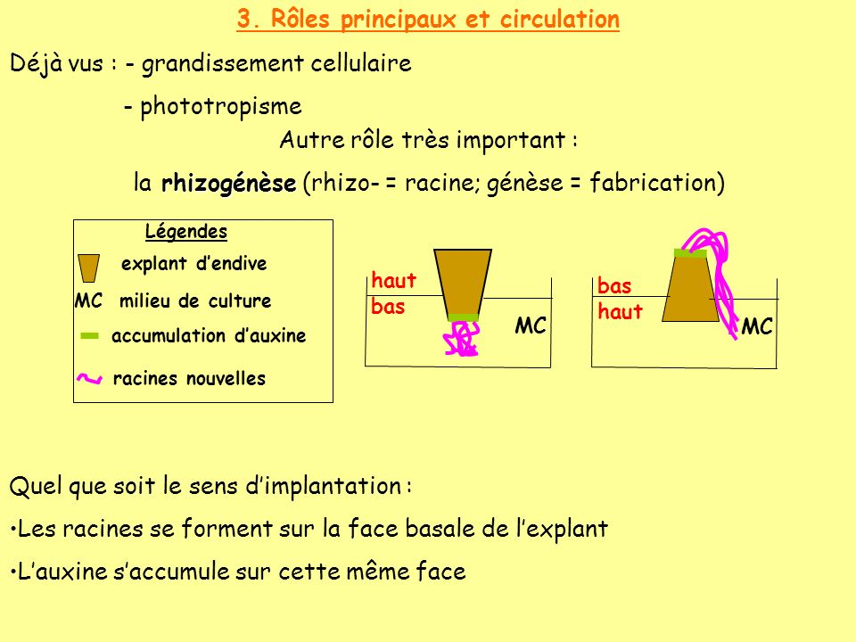 bas haut haut bas 3. Rôles principaux et circulation Déjà vus : - grandissement cellulaire - phototropisme Autre rôle très important : rhizogénèse la