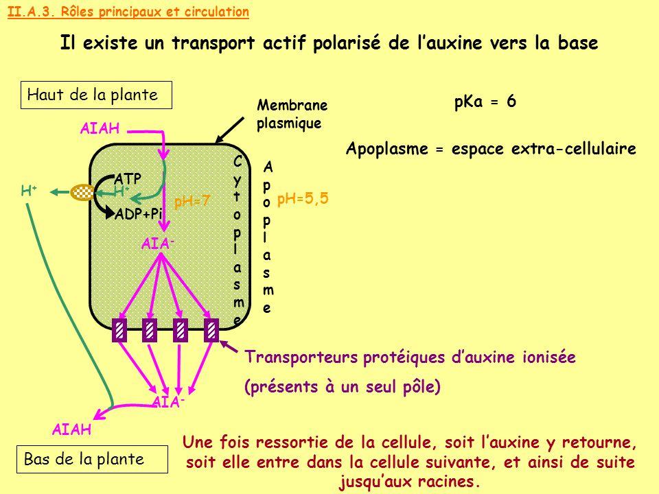CytoplasmeCytoplasme ApoplasmeApoplasme Apoplasme = espace extra-cellulaire Membrane plasmique Haut de la plante Bas de la plante II.A.3. Rôles princi