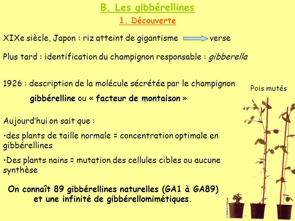 B. Les gibbérellines 1. Découverte XIXe siècle, Japon : riz atteint de gigantisme verse Plus tard : identification du champignon responsable : gibbere