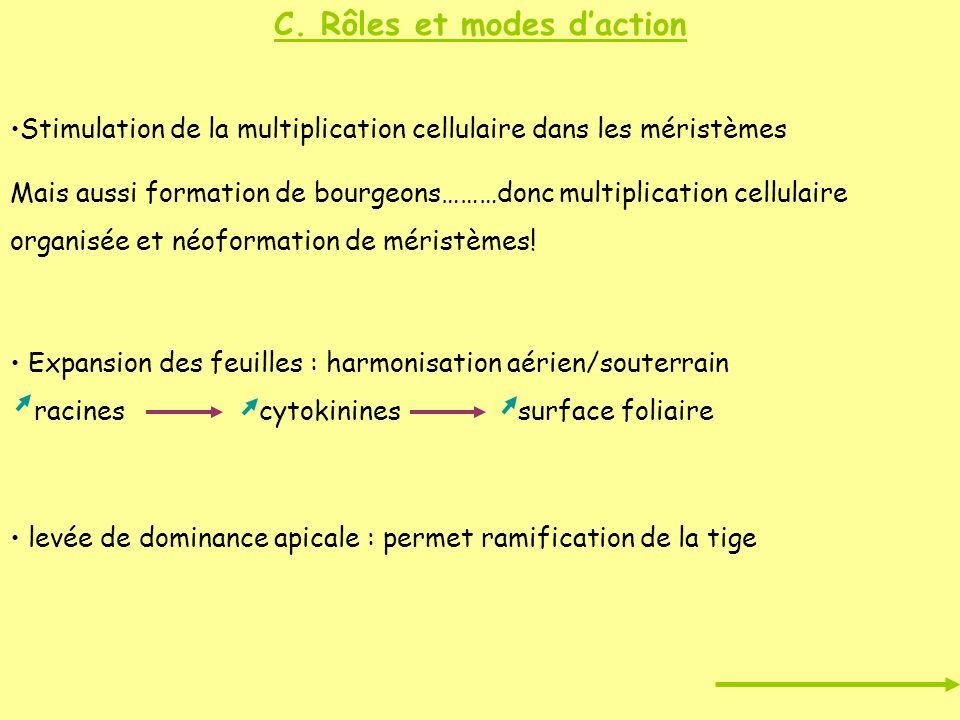 C. Rôles et modes daction Stimulation de la multiplication cellulaire dans les méristèmes Mais aussi formation de bourgeons………donc multiplication cell