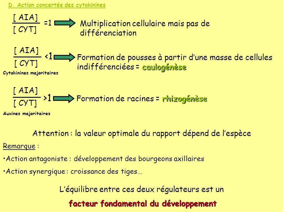 D. Action concertée des cytokinines [ AIA] [ CYT] =1 Multiplication cellulaire mais pas de différenciation [ AIA] [ CYT] <1 caulogénèse Formation de p