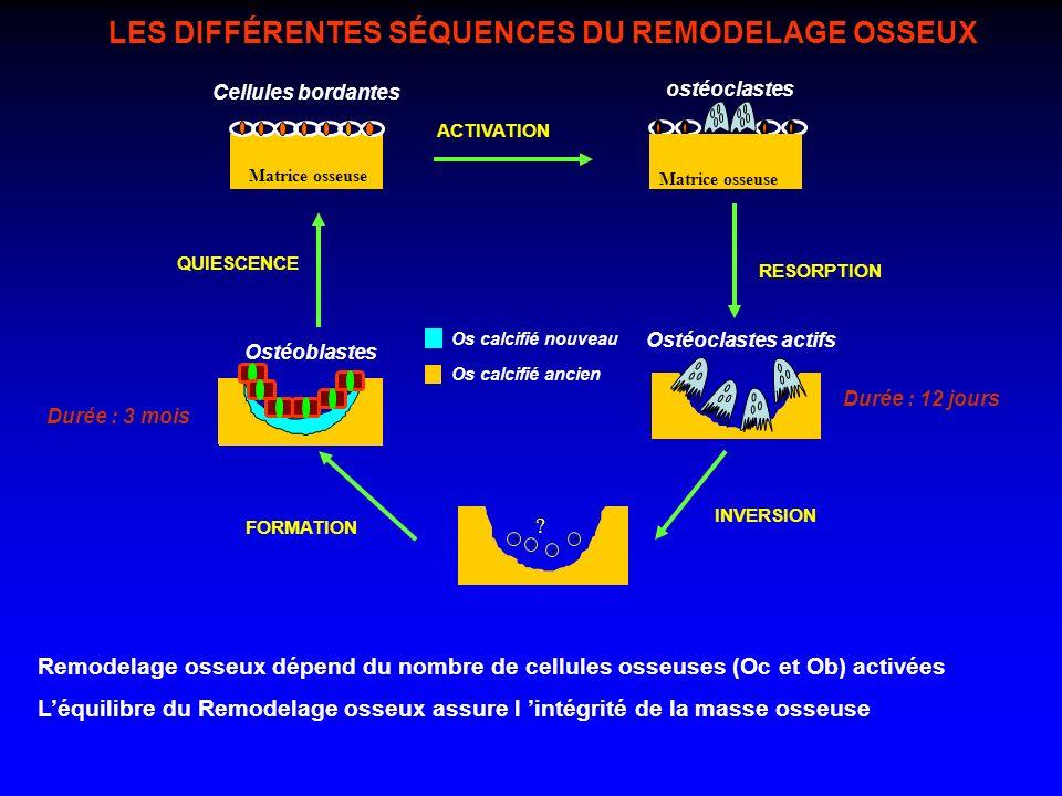 .... QUIESCENCE Ostéoblastes Ostéoclastes actifs FORMATION INVERSION ACTIVATION RESORPTION Os calcifié nouveau Os calcifié ancien Cellules bordantes ?