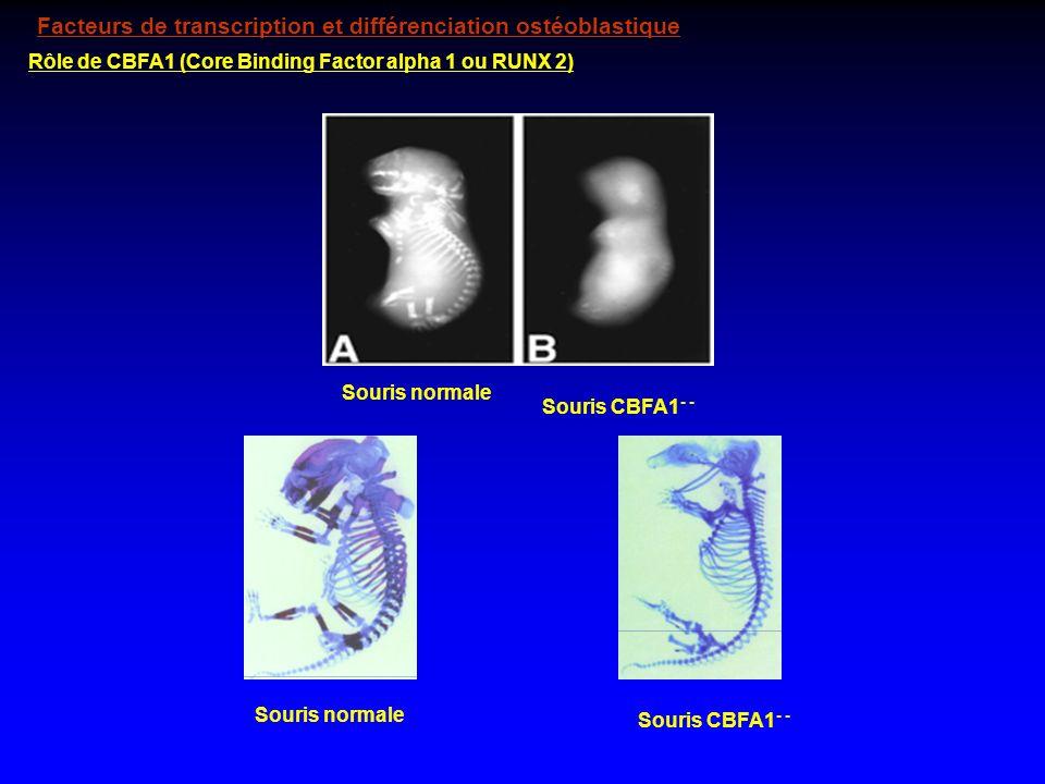 Rôle de CBFA1 (Core Binding Factor alpha 1 ou RUNX 2) Souris normale Souris CBFA1 - - Souris normale Souris CBFA1 - - Facteurs de transcription et dif