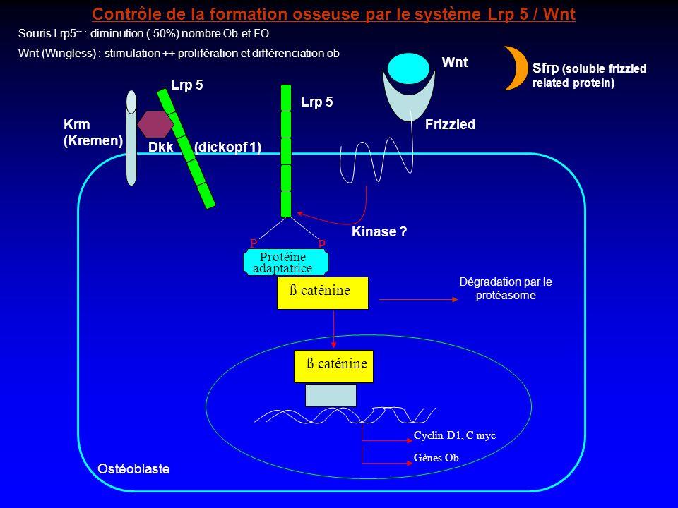 Wnt Kinase ? P P Protéine adaptatrice ß caténine Lrp 5 Frizzled Lrp 5 Krm (Kremen) Dkk (dickopf 1) Contrôle de la formation osseuse par le système Lrp