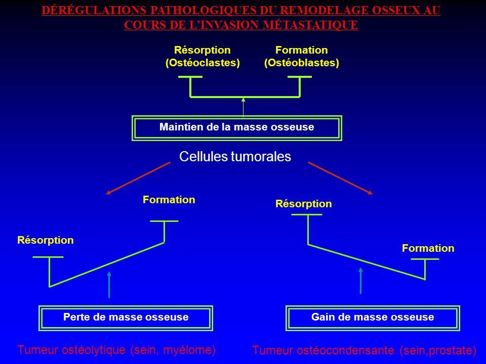 DÉRÉGULATIONS PATHOLOGIQUES DU REMODELAGE OSSEUX AU COURS DE LINVASION MÉTASTATIQUE Résorption (Ostéoclastes) Formation (Ostéoblastes) Maintien de la