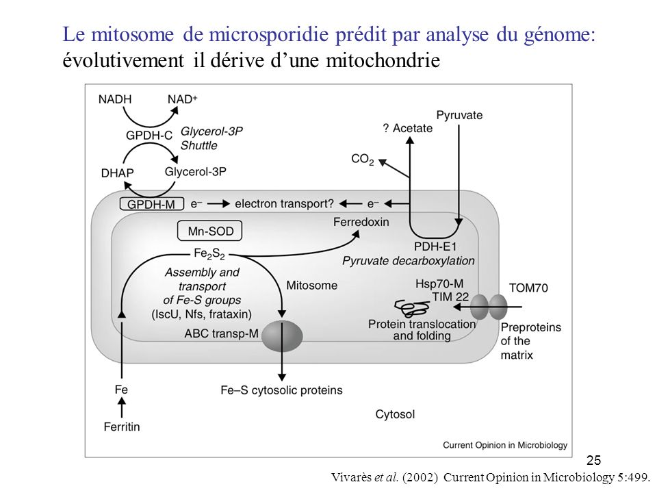 25 Vivarès et al. (2002) Current Opinion in Microbiology 5:499. Le mitosome de microsporidie prédit par analyse du génome: évolutivement il dérive dun