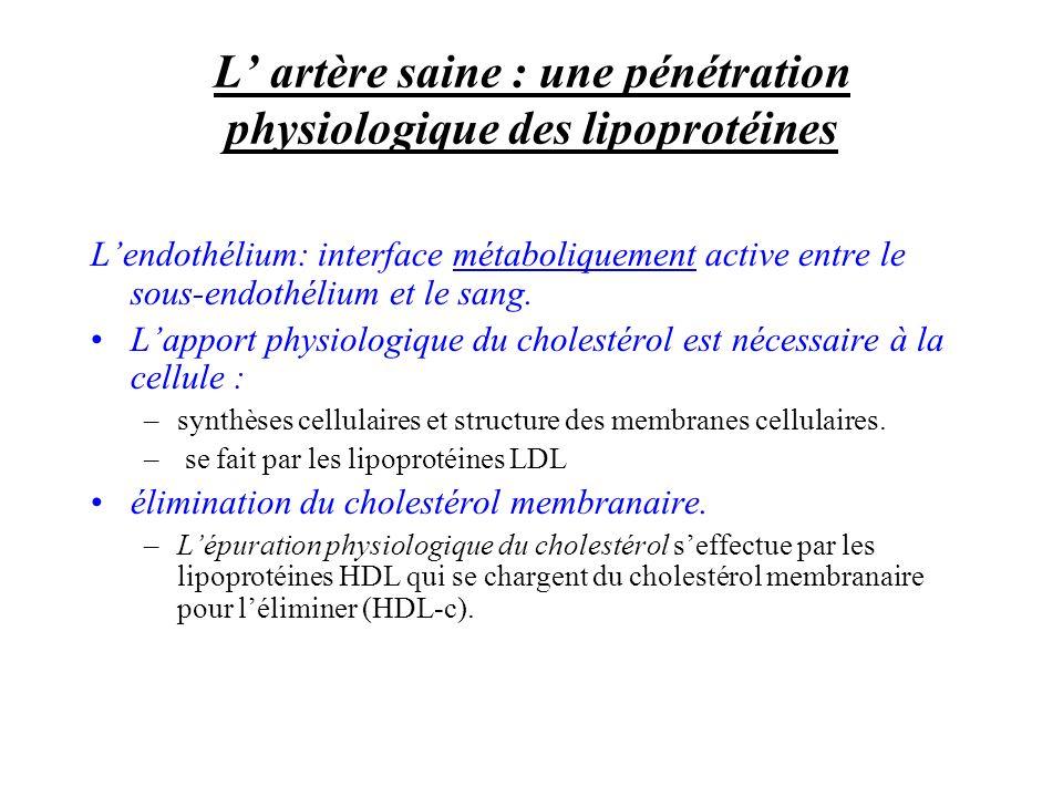 L artère saine : une pénétration physiologique des lipoprotéines Lendothélium: interface métaboliquement active entre le sous-endothélium et le sang.