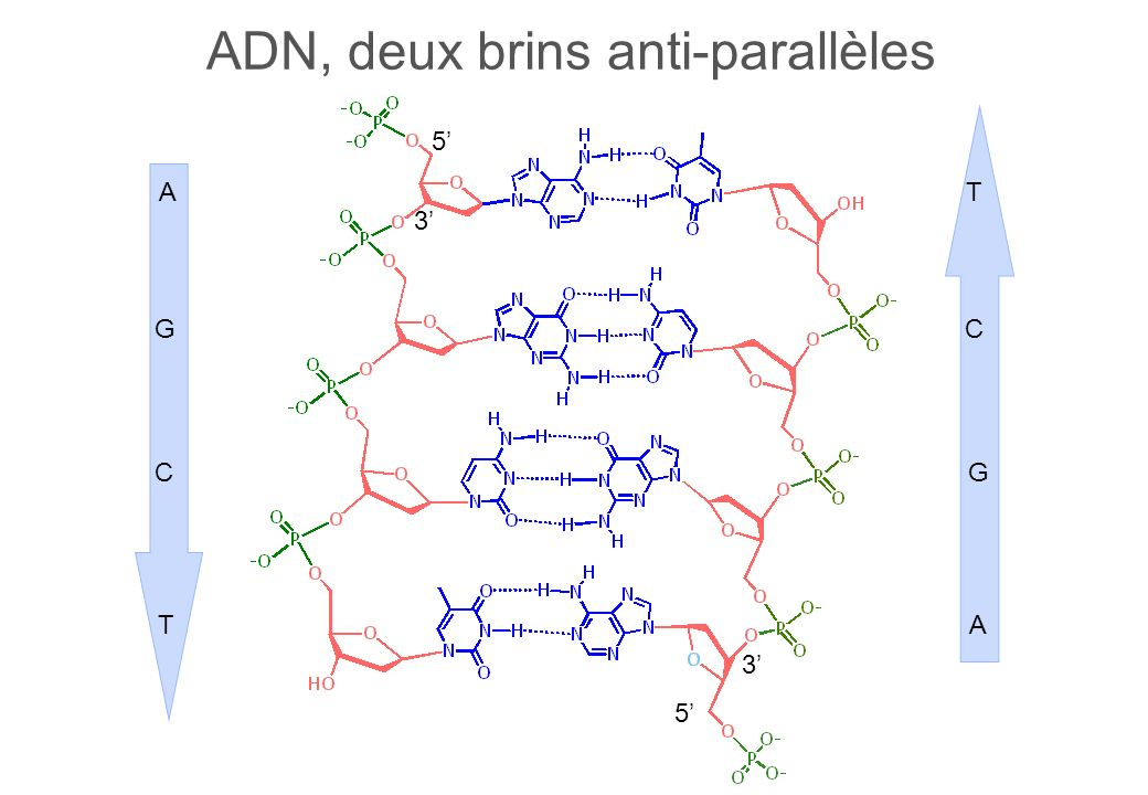 ADN, deux brins anti-parallèles 3 5 5 3 T C G A A G C T