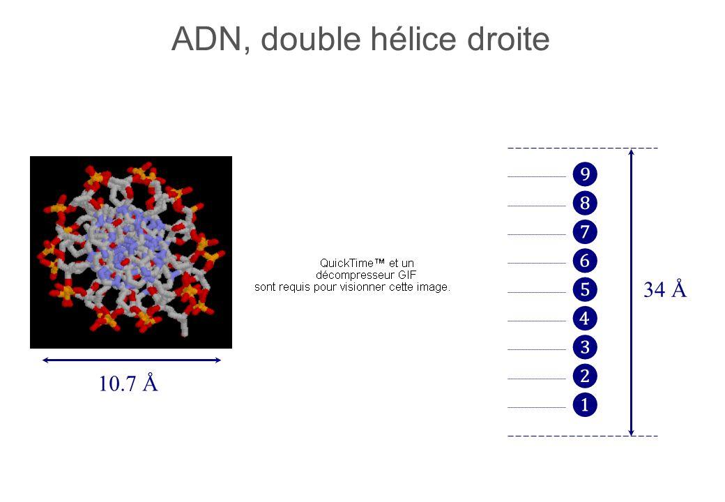 ADN, double hélice droite 34 Å 10.7 Å