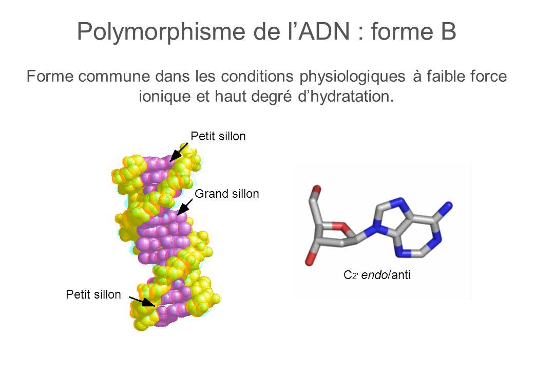 Forme commune dans les conditions physiologiques à faible force ionique et haut degré dhydratation.
