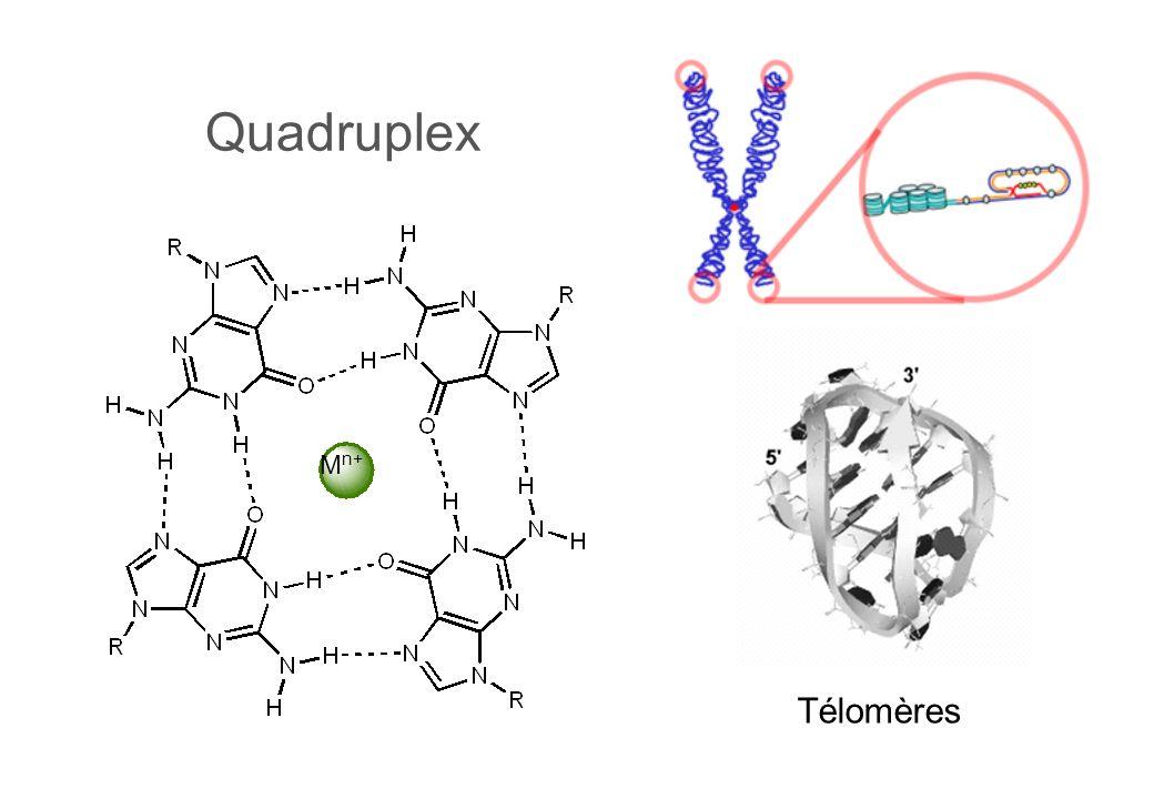 Quadruplex Télomères M n+