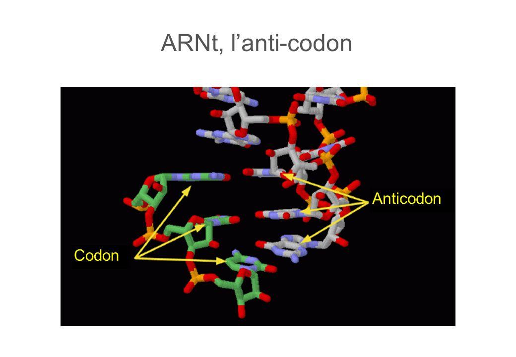 ARNt, lanti-codon Anticodon Codon
