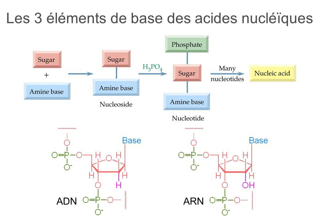 Les 3 éléments de base des acides nucléïques ADNARN