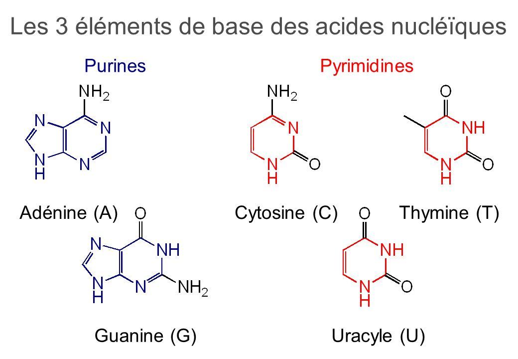 Les 3 éléments de base des acides nucléïques Purines Adénine (A) Guanine (G) Pyrimidines Cytosine (C)Thymine (T) Uracyle (U)