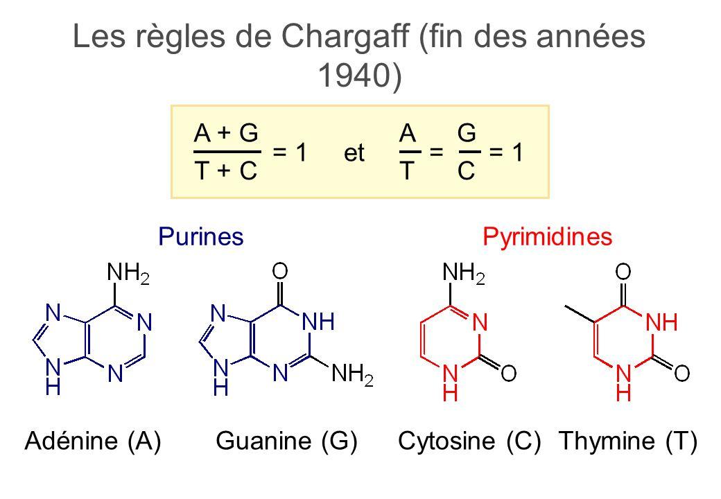 Les règles de Chargaff (fin des années 1940) PyrimidinesPurines Adénine (A)Guanine (G)Thymine (T)Cytosine (C) T + C A + G = 1 C G = T A et