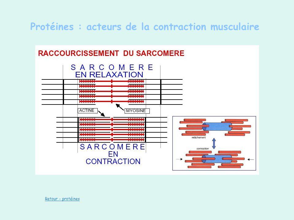 Protéines : acteurs de la contraction musculaire Retour - protéines