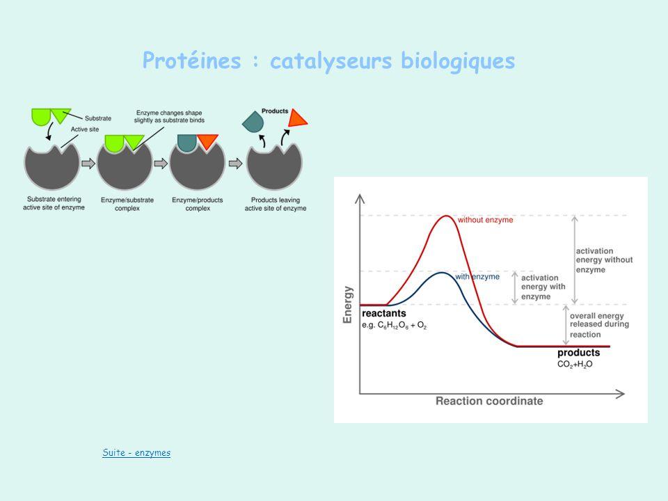 Protéines : catalyseurs biologiques Suite - enzymes